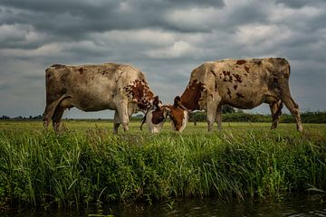 Kühe gegen einen Wolkenhimmel im Machtkampf von Leon Doorn