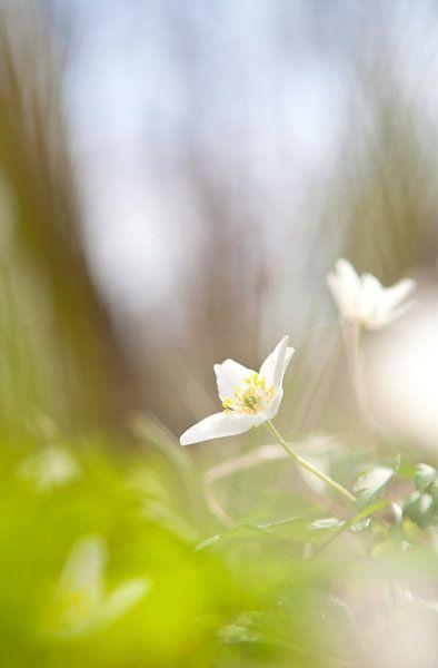 White gentleness van Olha Rohulya