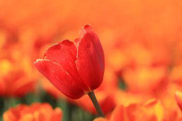 Rote Tulpe im orangefarbenen Feld. von Hester Hielkema