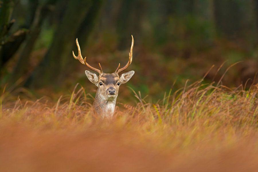 Damhert in het gras van Richard Guijt