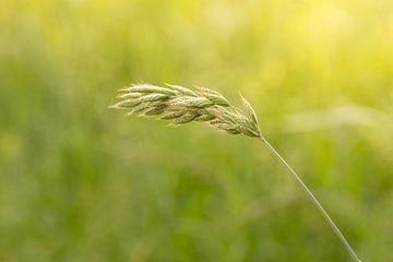 Bloeiend gras | zomerdag | gouden uur van Marianne Twijnstra-Gerrits