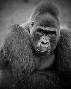Silberrücken-Gorilla-Mann