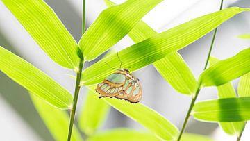 Grün in grün - Schmetterling Vlindertuin Orchideeënhoeve von Gerda Hoogerwerf