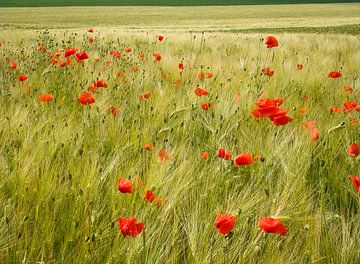 Poppies van Maarten De Wispelaere