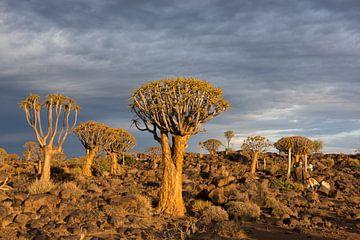 Kokerbomen bij zonsopkomst van Felix Sedney