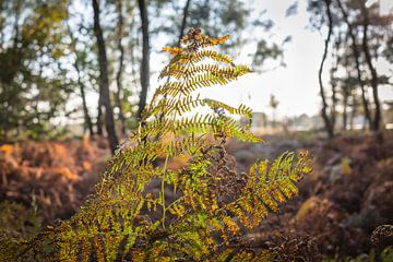 Farn fängt das letzte Sonnenlicht ein, Herbst-Nationalpark die Groote Peel von Ger Beekes