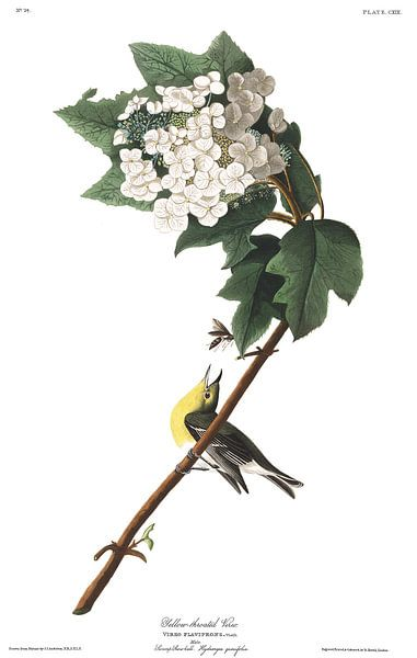 Geelborstvireo van Birds of America