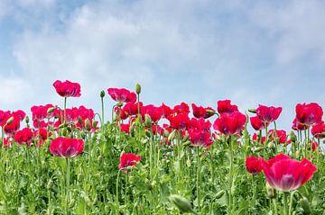 Een veld met rode papaverbloemen. van Arie Storm
