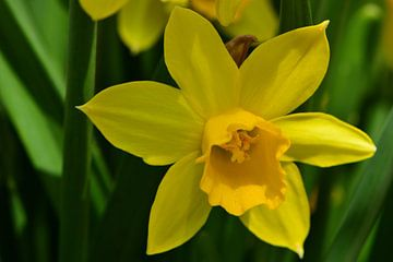 Een gele narcis in bloei van Gerard de Zwaan