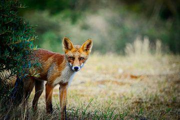 Neugieriger Fuchs von Niek Van Helden