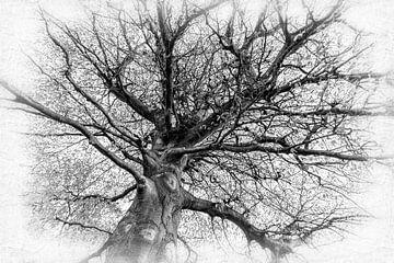 Magnolie Baum schwarz-weiss ohne Blätter im Winter von Dieter Walther