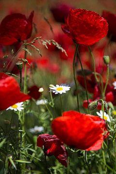 Fleurs et plantes   Coquelicots Grèce 2 sur Servan Ott