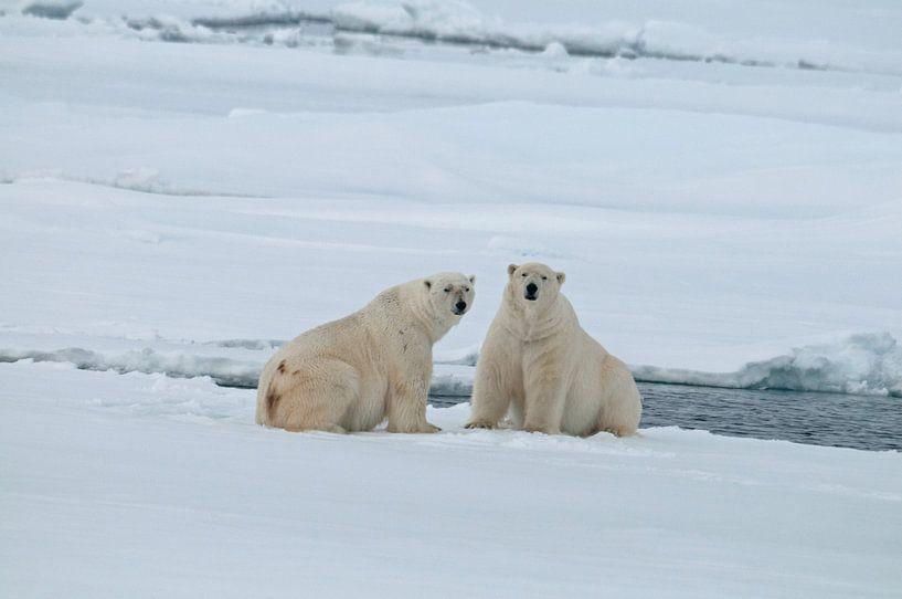 IJsberen op het pakijs van Peter Zwitser