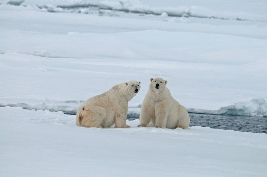 IJsberen op het pakijs