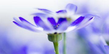 Blauwe Margriet van Jenco van Zalk
