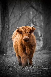 Schotse Hooglander van