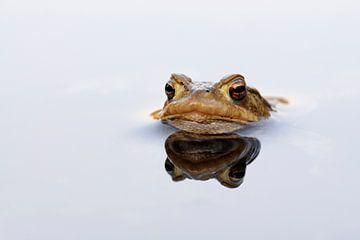 waiting... Common Toad *Bufo bufo* van wunderbare Erde