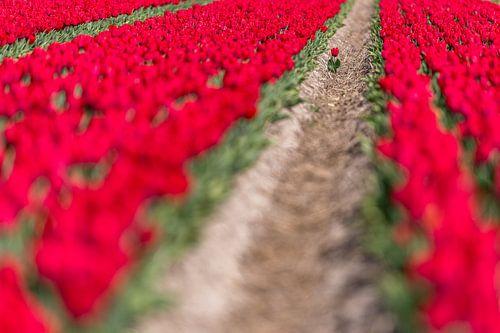 Eenzame tulp op een overvol bollenveld van