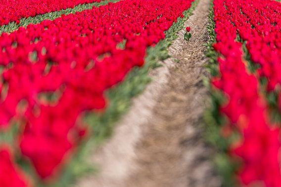 Eenzame tulp op een overvol bollenveld