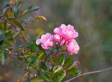 Wildrose im bunten Herbst in Deutschland von Babetts Bildergalerie