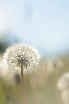 Sunbathing dandelion van