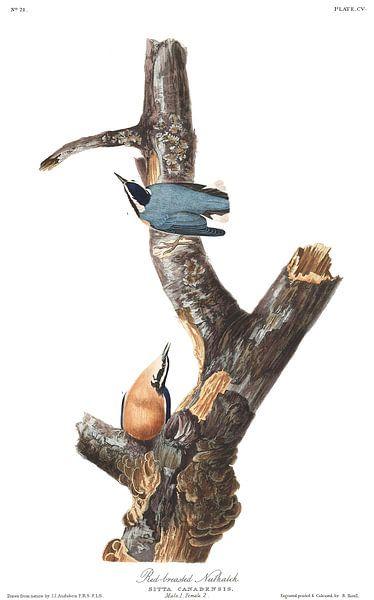 Canadese Boomklever van Birds of America