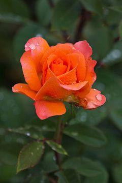 Rose in orange von Anja B. Schäfer