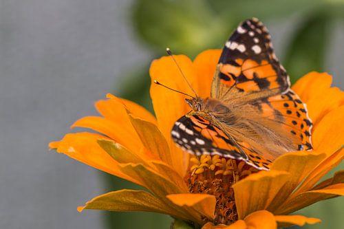 De Distelvlinder