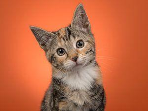 Kätzchen-Portrait in Orange