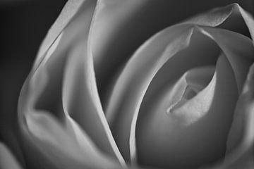 Zarte Rose von Danny Vroemen