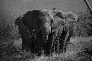 Groep Olifanten, zwart -wit. van Niels Jaeqx