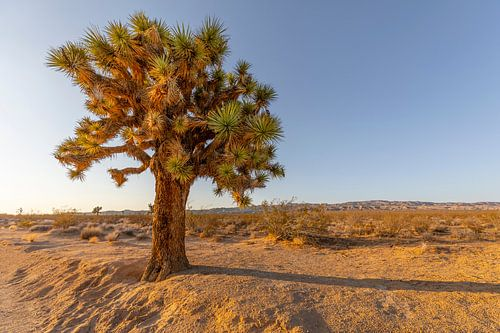 Joshua Tree - Boom in de woestijn van Barstow van Remco Bosshard