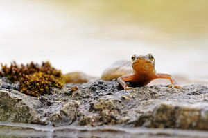 Common Newt / Smooth Newt ( Lissotriton vulgaris ) shows his colorful throat relaxing on some stones