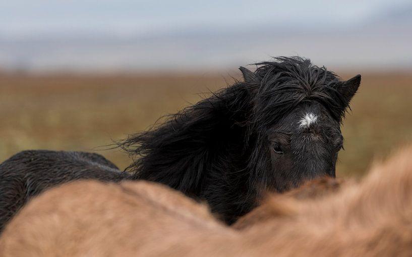 Asgeirr van Islandpferde  | IJslandse paarden | Icelandic horses