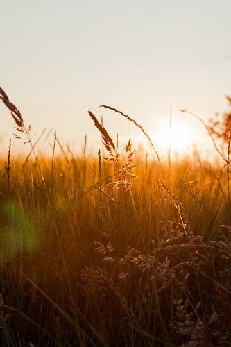 Zonsondergang door het graan van
