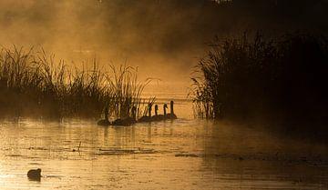 Zwanen in de vroege morgen sur jeroen akkerman