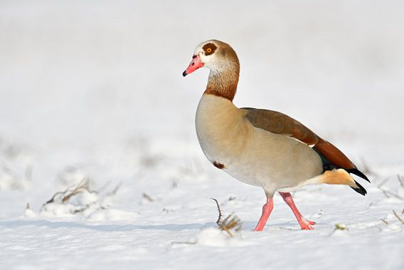 Egyptian Goose ( Alopochen aegyptiacus ) in winter, walking over snow covered farmland, nice side vi