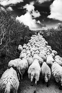 Schapen kudde met herder in de Katwijkse duinen - zwart wit van