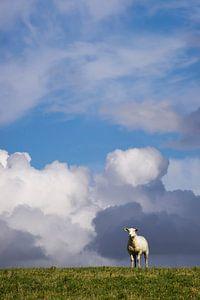 Schaf auf dem Deich 2