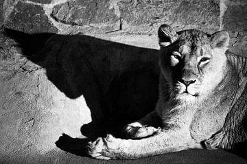 La lionne au repos projette une ombre claire et sombre, répétant la silhouette de sa tête, photo en  sur Michael Semenov