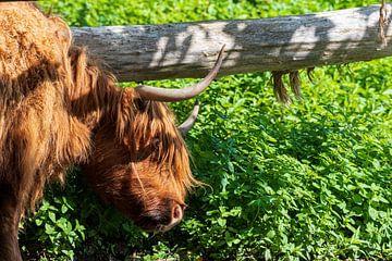 Schottischer Highlander hat einen Juckreiz von Merijn Loch