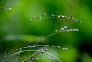 Herbe perlée - détail