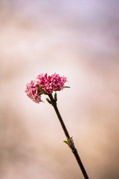 Roze lentebloem von Petra Brouwer