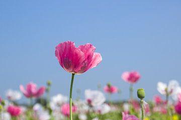 Roze papaver, klaproos van Irene Damminga