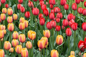 Tulpen van Ronne Vinkx