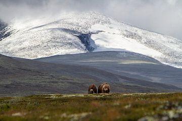 2 Muskus ossen voor Snøhetta in Noorwegen van Geke Woudstra