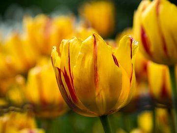 Prairie de tulipes jaunes et tulipe avec accent rouge sur Sofie Duchateau