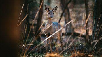 Ree in oplettende houding in de Nederlandse bossen van Maarten Oerlemans