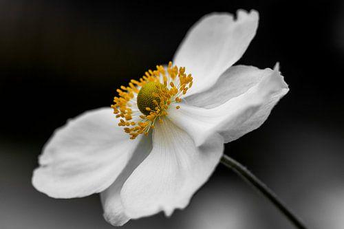 white anemone van