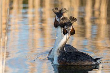 Vogels | Baltsende futen in het avondlicht van Servan Ott